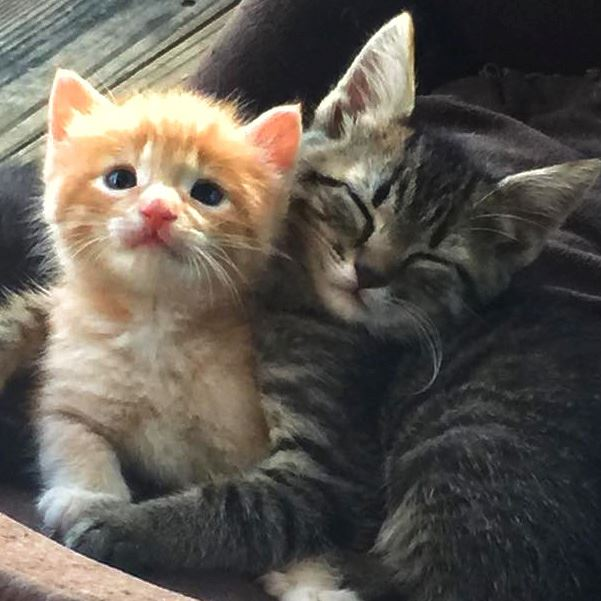 A young orange and tabby kitten sleeping together