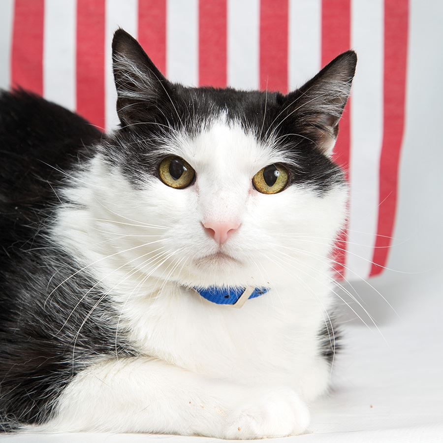 A black and white cat sitting in front of the American flag