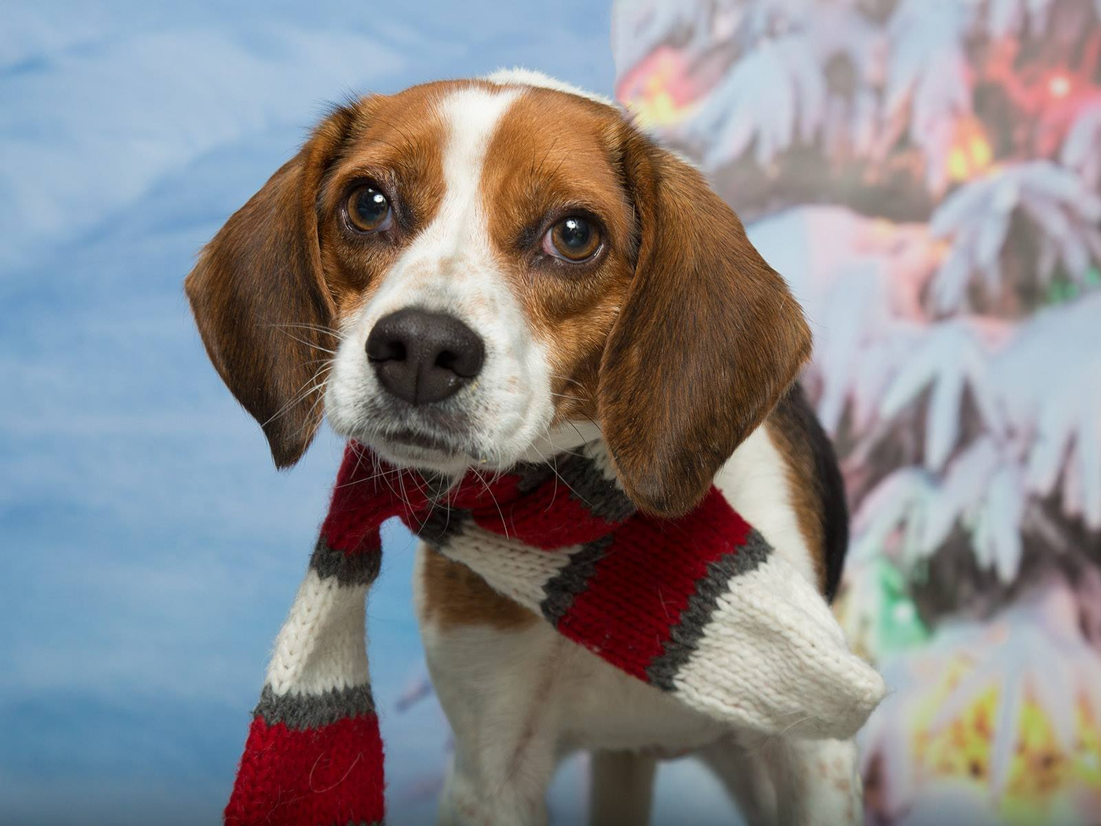 Photo of a beagle with a holiday scarf