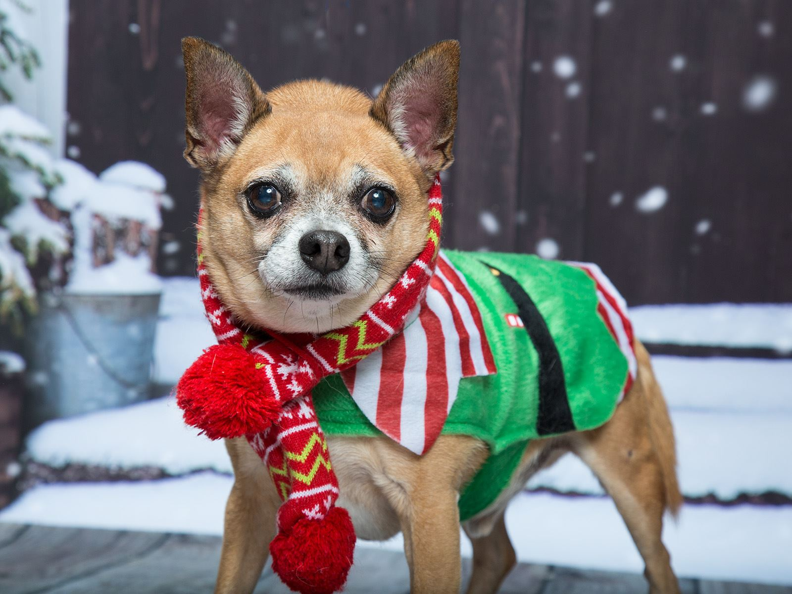 Photo of a small brown dog wearing a holiday elf outfit.