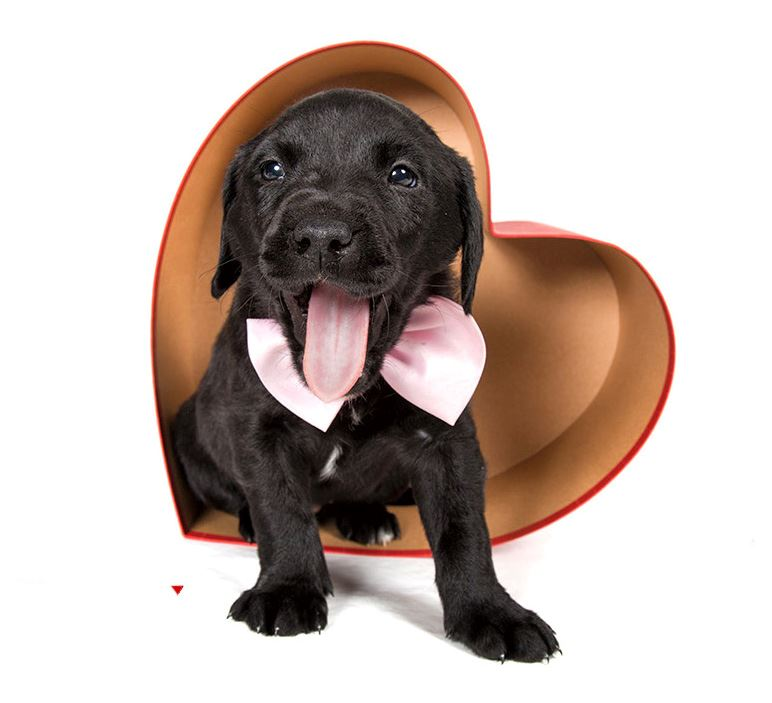 A black puppy yawning in a heart-shaped candy box.
