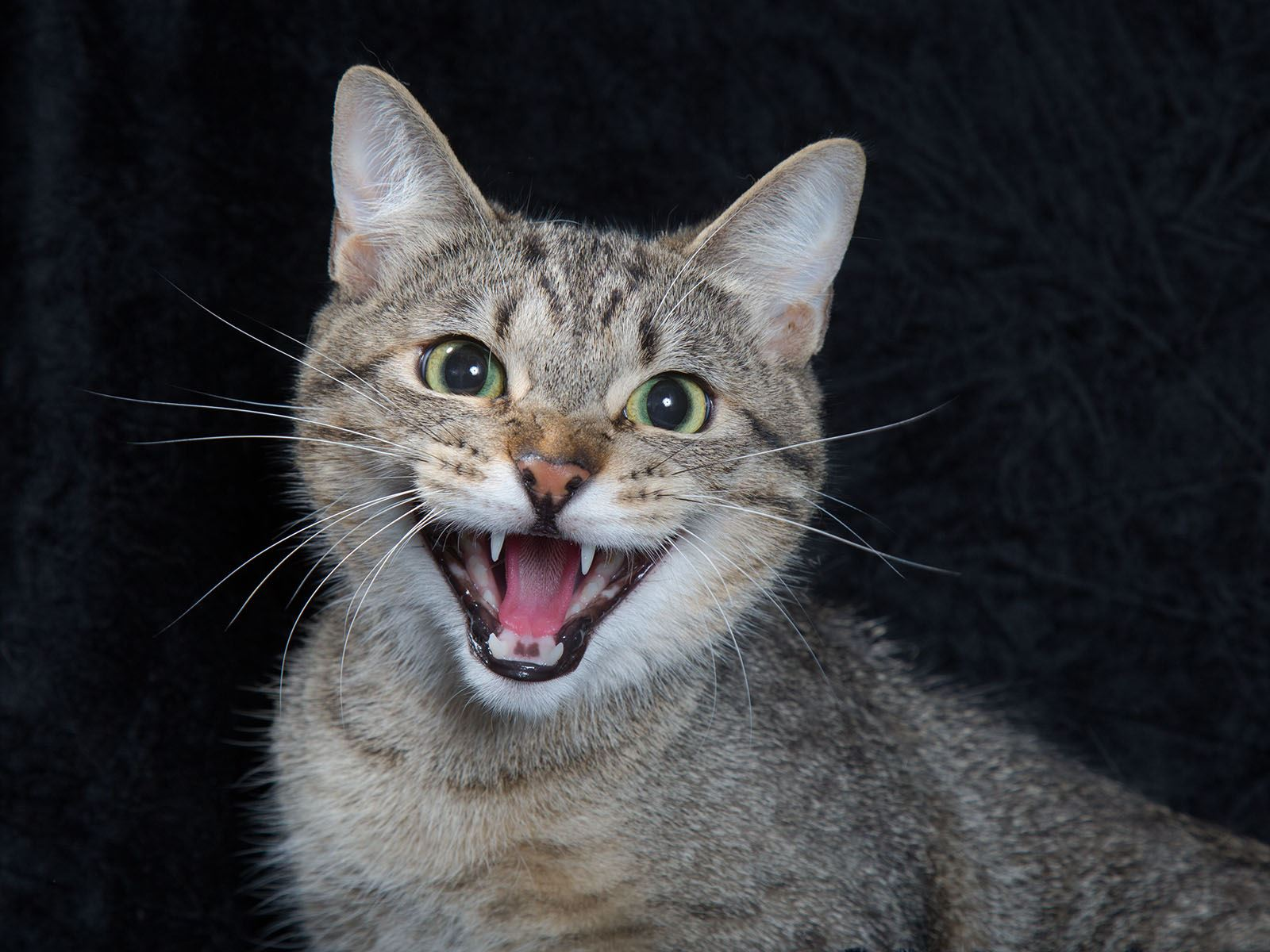 A portrait of a tabby cat hissing in front of a black background.