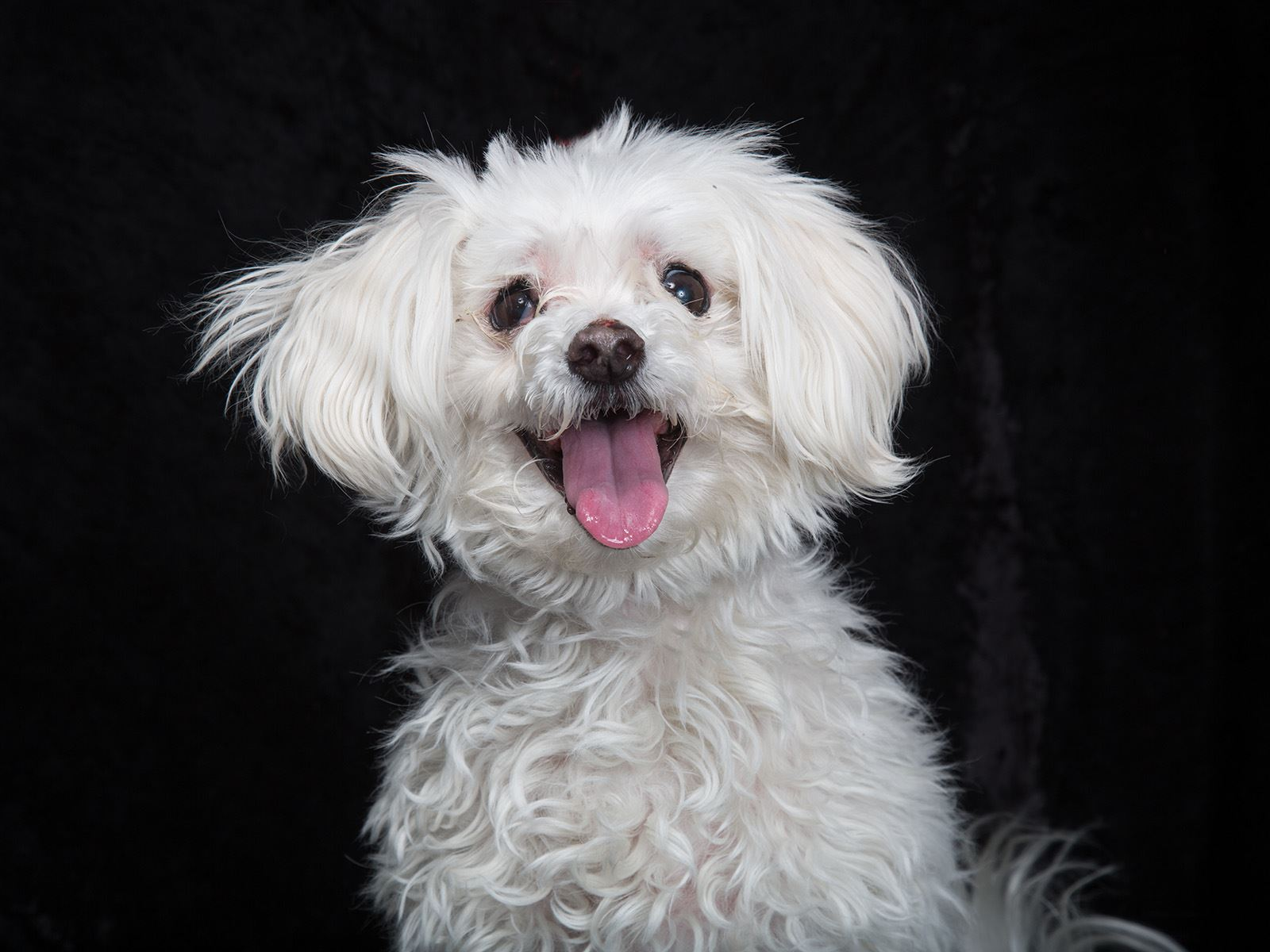 Photo of a senior white small breed dog